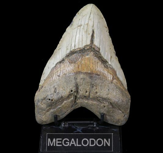 "Huge, 6.03"" Megalodon Tooth - North Carolina"