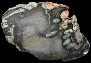 "Buy 7.7"" Slab of Fossilized ""Peanut Wood"" - Australia - #65635"