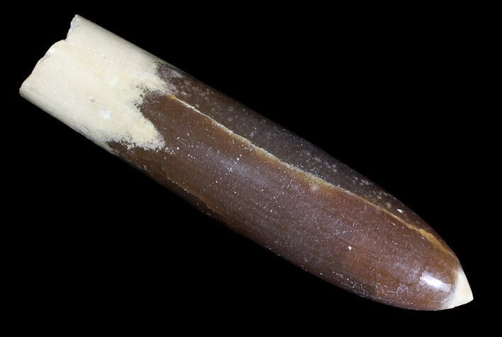 "3.5"" Agatized Belemnite Fossil - Sweden"