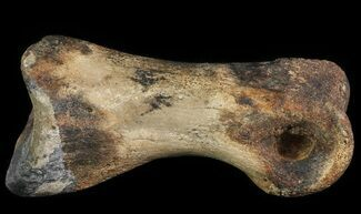 "Buy 2.2"" Struthiomimus Toe Bone - Montana - #66454"