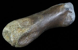 "1.9"" Struthiomimus Toe Bone - Montana For Sale, #66431"