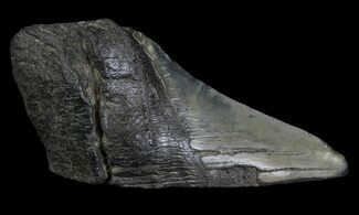 "Buy 4.93"" Fossil Megalodon Tooth ""Paper Weight"" - #66208"