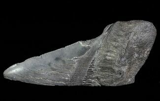 "Buy 4.82"" Fossil Megalodon Tooth ""Paper Weight"" - #66214"