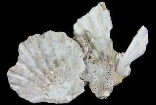Chesapecten - Fossils For Sale - #66396