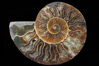 Cleoniceras - Fossils For Sale - #64986