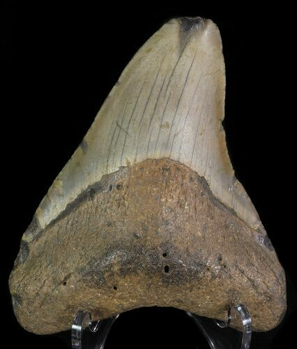 "Bargain, 3.94"" Megalodon Tooth - North Carolina"