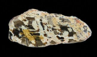 Aruacaria sp. - Fossils For Sale - #65616