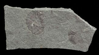 Devonian Zosterophyllum Plant Fossil - Scotland For Sale, #66686