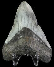 "Bargain, 4"" Megalodon Tooth - North Carolina For Sale, #67106"