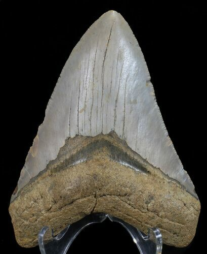 "4.51"" Megalodon Tooth - North Carolina"