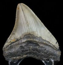 "Buy Bargain, 4.07"" Megalodon Tooth - North Carolina - #67138"