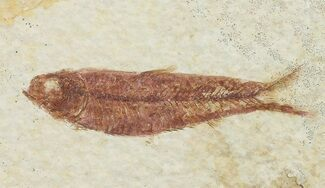 "2.2"" Knightia Fossil Fish - Wyoming For Sale, #67370"