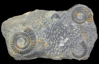 Pair Of Devonian Anetoceras Ammonites - Morocco For Sale, #67721