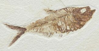 "Detailed, 5.3"" Diplomystus Fossil Fish - Wyoming For Sale, #67922"