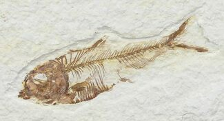"Bargain, 2.6"" Diplomystus Fossil Fish - Wyoming For Sale, #67946"