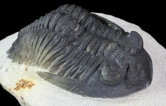 "2.65"" Hollardops Trilobite - Great Eye Facets For Sale, #67889"