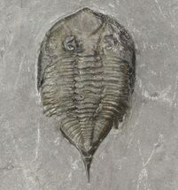 "Buy 1.9"" Dalmanites Trilobite With Other Fossils - New York - #68095"