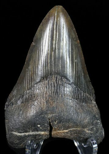 "3.59"" Fossil Megalodon Tooth - Georgia"