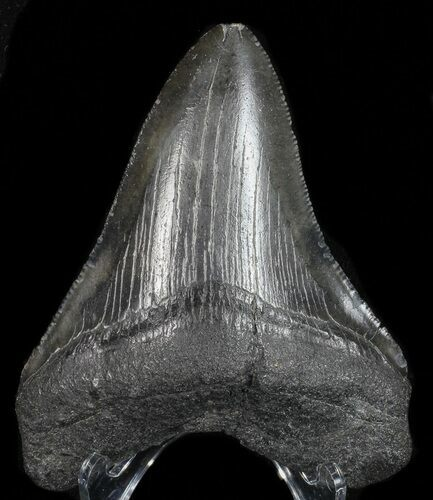 "Serrated, 3.28"" Fossil Megalodon Tooth - Georgia"