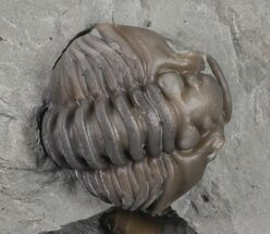 ".65"" Wide, Enrolled Flexicalymene Trilobite In Shale - Ohio For Sale, #67970"
