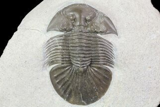 "1.65"" Platyscutellum Trilobite - Axial Nodes & Eye Facets For Sale, #67877"