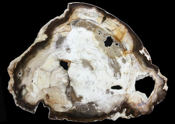"11.7"" Petrified Wood (Hickory) Slab - Deschutes River, Oregon"
