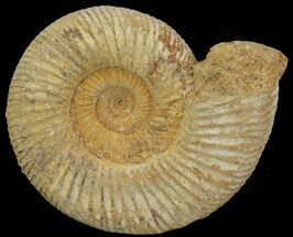 Perisphinctes - Fossils For Sale - #68169