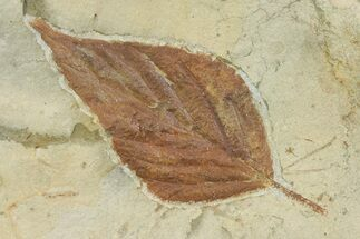 Celtis aspera - Fossils For Sale - #68325