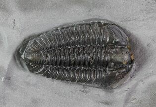 "Buy 1.35"" Calymene Niagarensis Trilobite - New York - #68386"