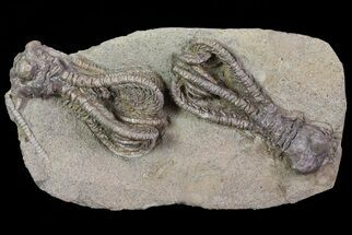 Buy Beautiful Jimbacrinus Crinoid Pair - Australia - #68353