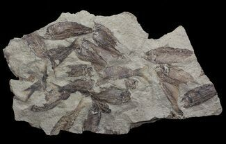 "11.7"" Fossil Fish (Gosiutichthys) Mortality Plate - Lake Gosiute For Sale, #68426"