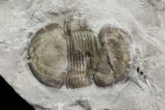 Bumastus ioxus - Fossils For Sale - #68514