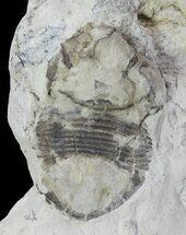 "Bargain, .75"" Bumastus Ioxus Trilobite - New York For Sale, #68519"