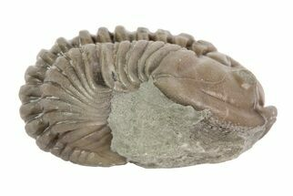 "1"", Partially Enrolled Flexicalymene Trilobite - Ohio For Sale, #68585"