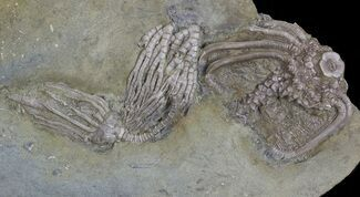 Buy Three Species of Crinoids On One Plate - Crawfordsville, Indiana - #68560