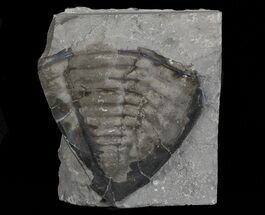 "2.2"" Trimerus Trilobite Tail - New York For Sale, #68558"