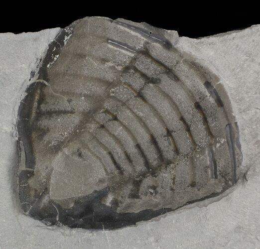 "2.5"" Trimerus Trilobite Tail - New York"