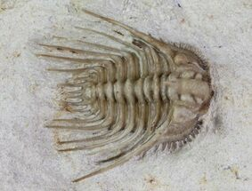 Kettneraspis williamsi - Fossils For Sale - #68622