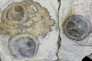 Buy Three Edrioasteroids (Isorophus) On Brachiopods - Fairfield, Ohio - #68884