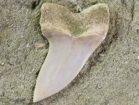 "Buy 1.4"" Mako Shark Tooth Fossil On Sandstone - Bakersfield, CA - #69004"