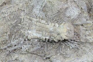 ".9"" Fossil Crinoid (Phanocrinus) in Rock - Alabama For Sale, #69059"