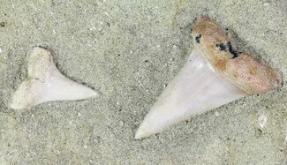 Buy Two Mako Shark Teeth Fossils In Rock - Bakersfield, CA - #69007