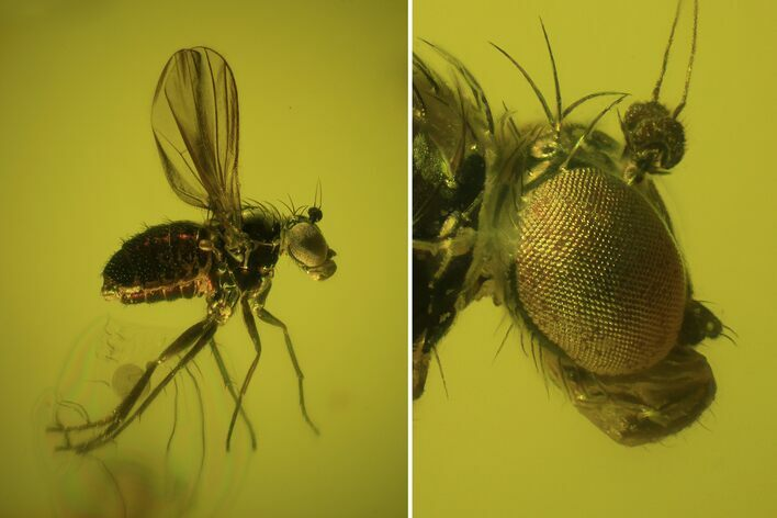 Exceptional Fossil Dance Fly (Empididae) In Baltic Amber
