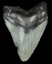 "2.15"" Juvenile Megalodon Tooth  For Sale, #69308"