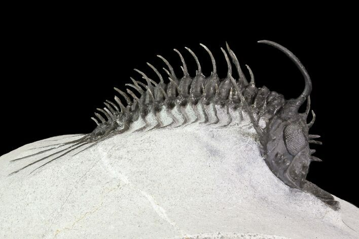 Alien Looking Spiny Quadrops Trilobite - 2.6""
