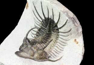"3"" New Trilobite Species (Affinities to Quadrops) For Sale, #69581"