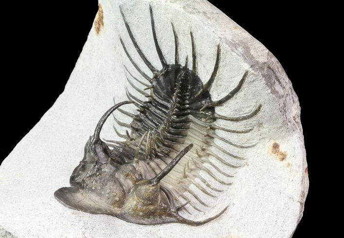 "3"" New Trilobite Species (Affinities to Quadrops)"