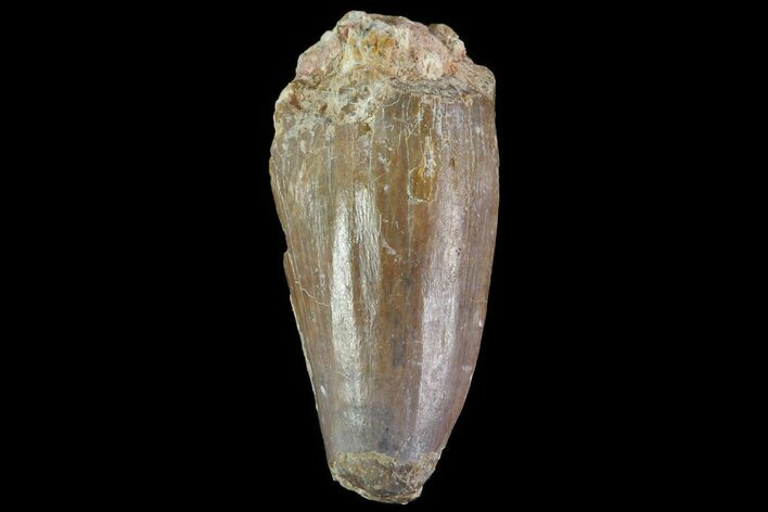 ".83"" Dimetrodon Tooth - Texas Red Beds"