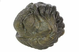 "2.4"" Wide Enrolled Pedinopariops Trilobite - Fantastic Detail For Sale, #69752"
