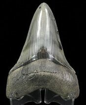 Carcharocles megalodon - Fossils For Sale - #69768